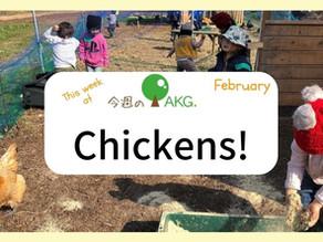 Chicken Day! 鶏さんこんにちは!