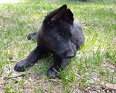 German Shepherd Puppy. El Paso. Texas