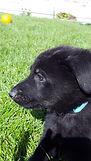 Black German Shepherd Puppy. El Paso. Texas