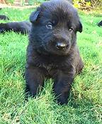 Black German Shepherd Puppies. El Paso, Texas