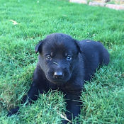 German Shepherd Puppies. El Paso, Texas