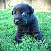 German Shepherd Puppy. El Paso. Texas.