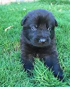 Black German Shepherd Puppy.