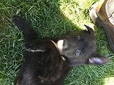 Black German Shepherd Puppies El Paso Texas
