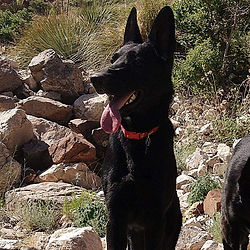 Black German Shepherd El Paso Texas.