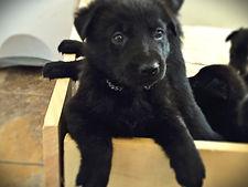 German shepherd puppy texas