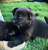Black German Shepherd Puppy. El Paso, Texas