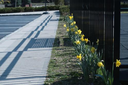 Daffodils3.jpg