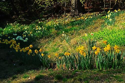 Daffodils5.jpg