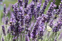 fragrant-herbs-lavender.jpg