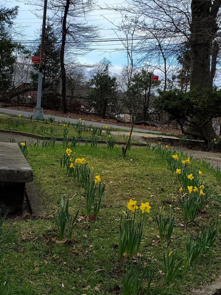 Daffodils 11.jpg