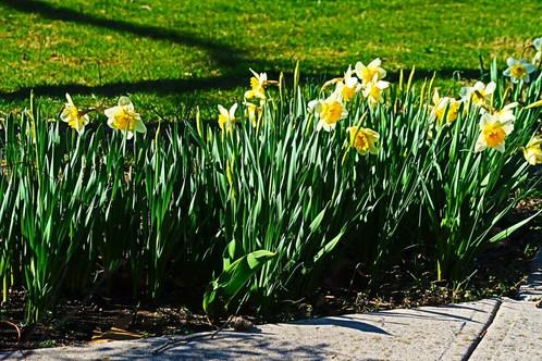 Daffodils9.jpg
