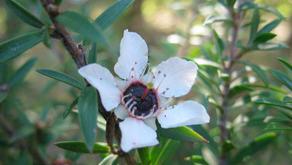 Expérience PRAXIS #1 : Miel de Manuka et huile essentielle (Dernière mise à jour 12 mai 2020)