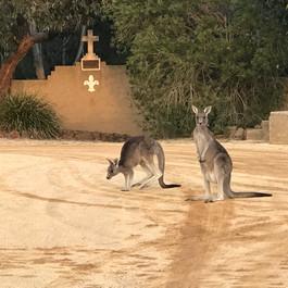 Kangaroos at Chapel.JPG