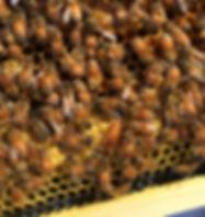 Ohio Honey Bees