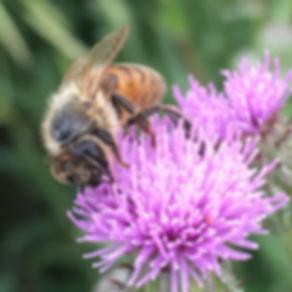 Ohio Honey Bee