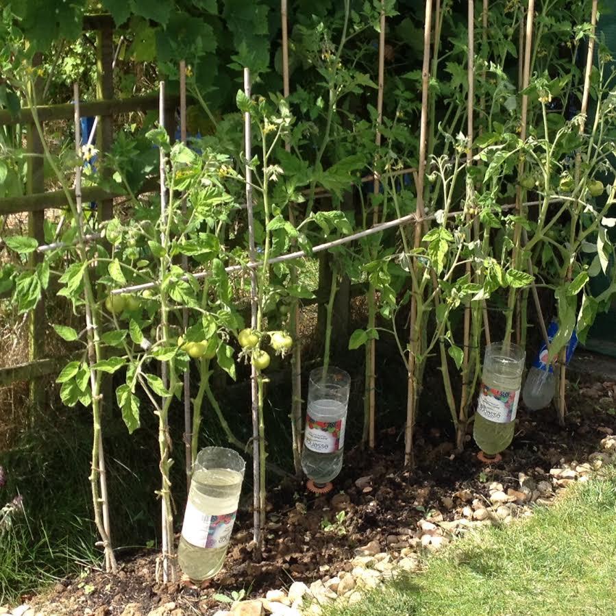 8. Tomatoes Aug 2016.jpg