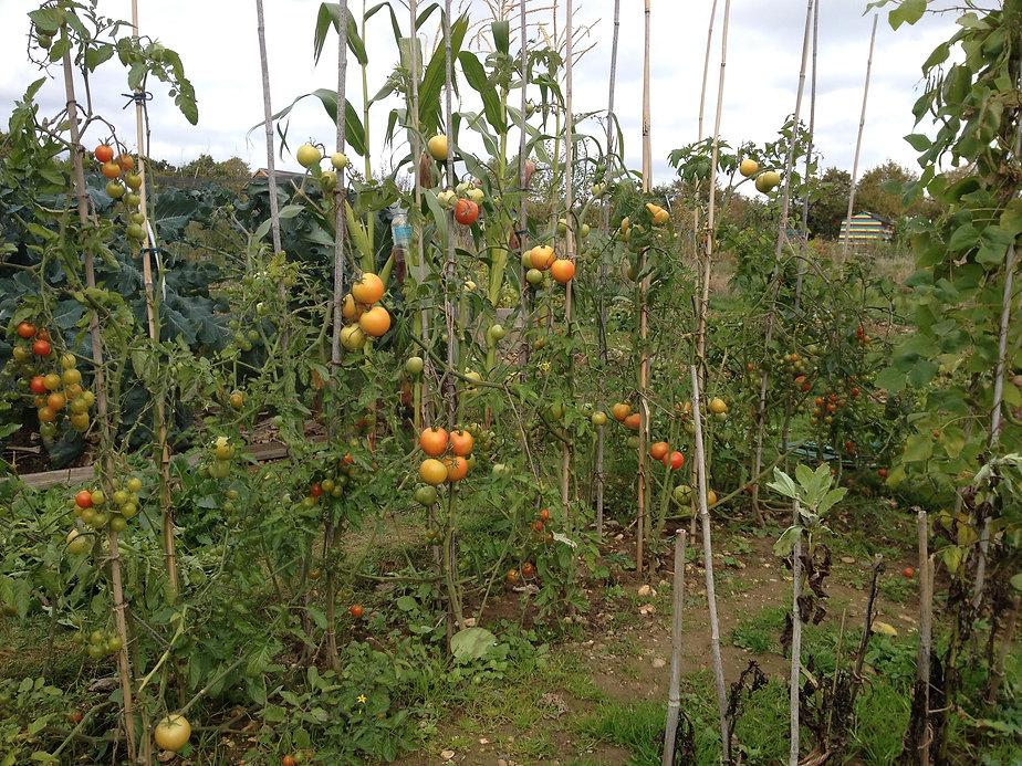 4. Tomatoes.JPG
