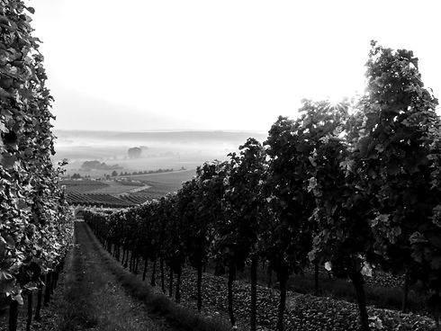The sun begins to crest the tops of the vines as they slope down into the fog