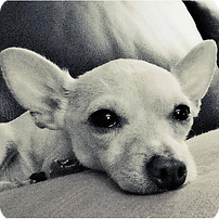 image: former foster dog, Rosie