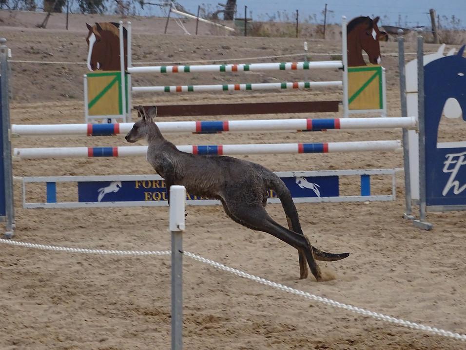 Entry 1 - Kangaroo Showjumping