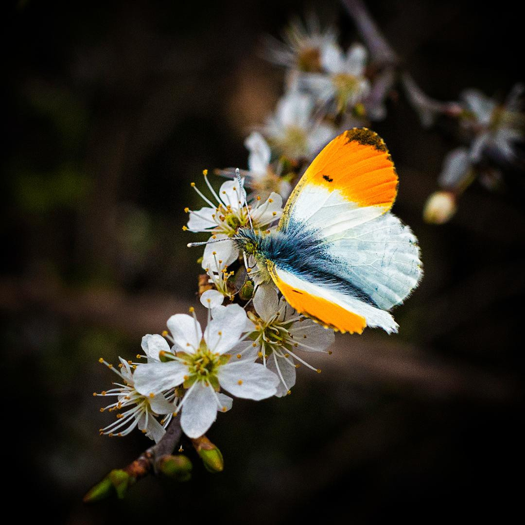 COLOUR - Orange Tip Butterfly by Maurice O'Flaherty (10 marks)
