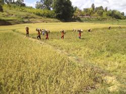 La rizière de l'Hôpital Ste Anne