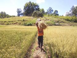 1ère récolte du riz