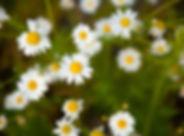 chamomile-flowers.jpg