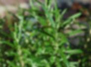rosemary-planting-growing.jpg
