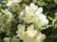 jasmine-770x513.jpg