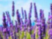 lavender_facebook.jpg