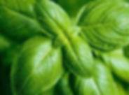 basil-with-wet-leaves.jpg