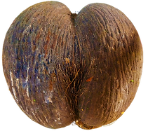 Coco de Mer the world's biggest nut