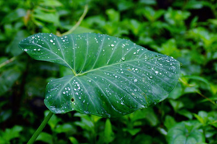 Elephant ear leaf speckled with raindrops. Photo credit to Vengolis.