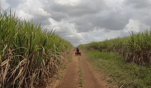 Riding ATVs though tall sugar cane crops in Dominican Republic