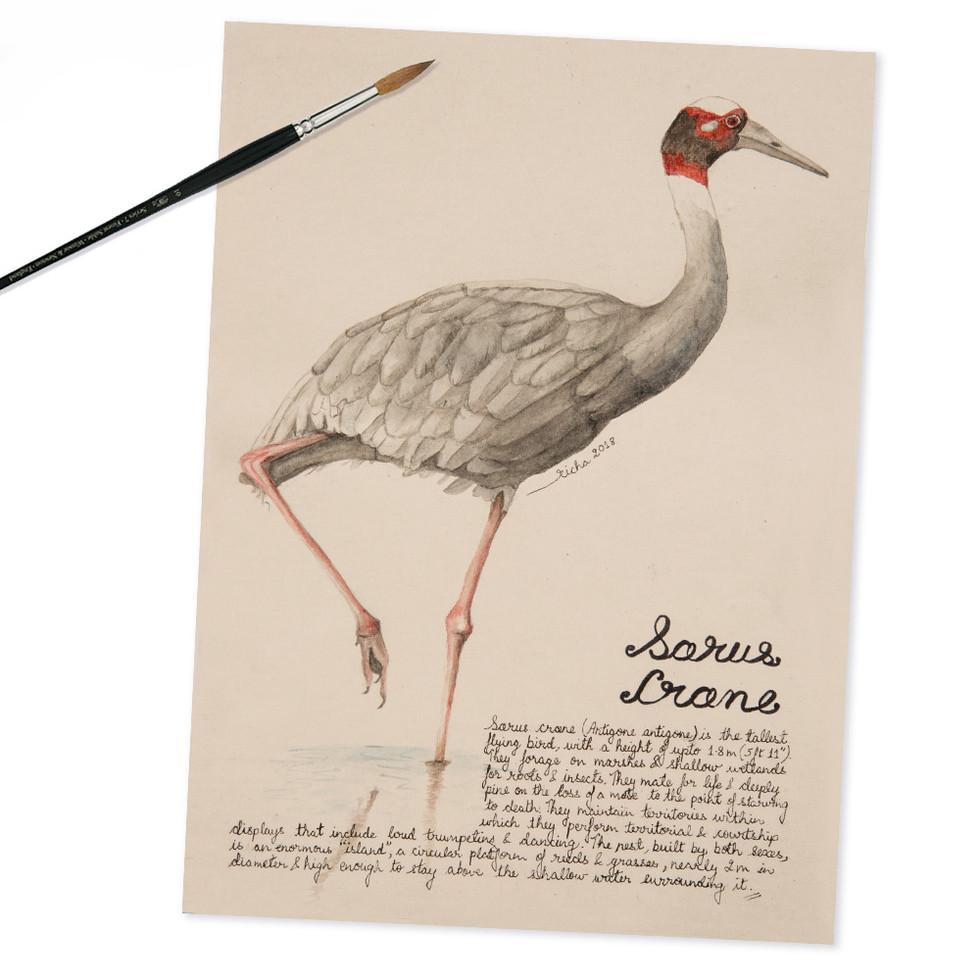 sarus crane.jpg