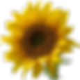 A_sunflower-Edited.png