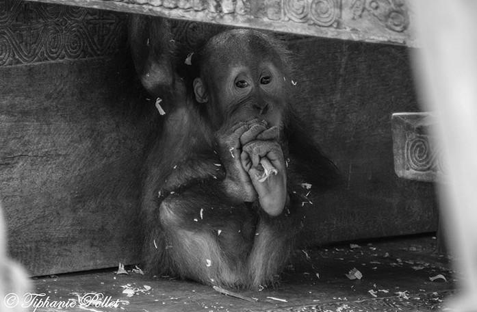 Orang-outan bébé 2.jpg
