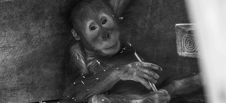 Orang-outan bébé.jpg