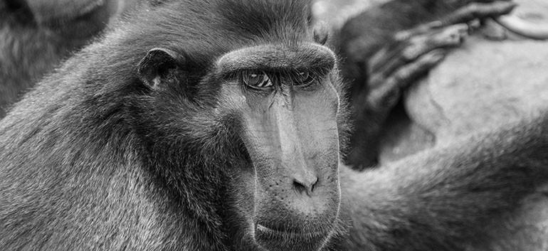 Macaque à crète 2.jpg