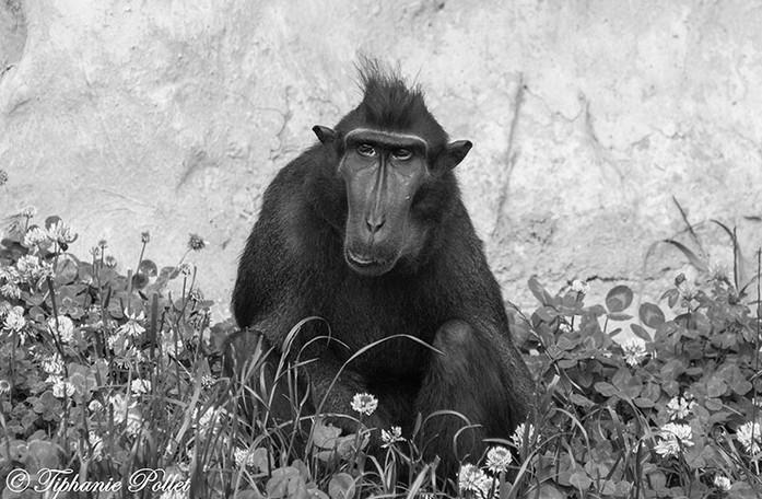 Macaque à crète.jpg