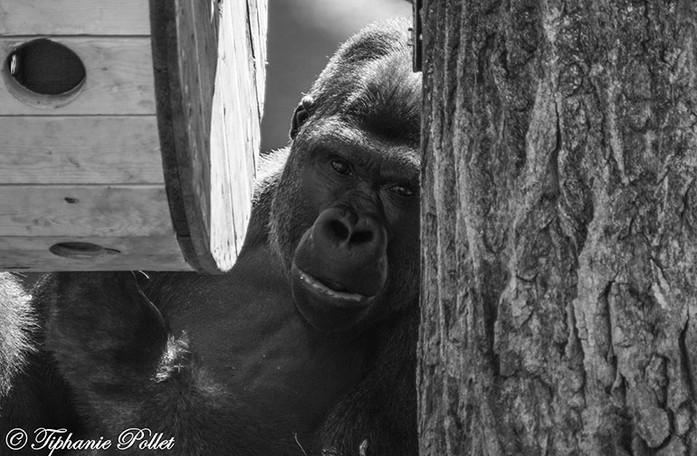Gorille 3.jpg