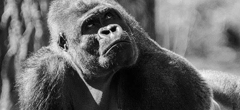 Gorille 2.jpg