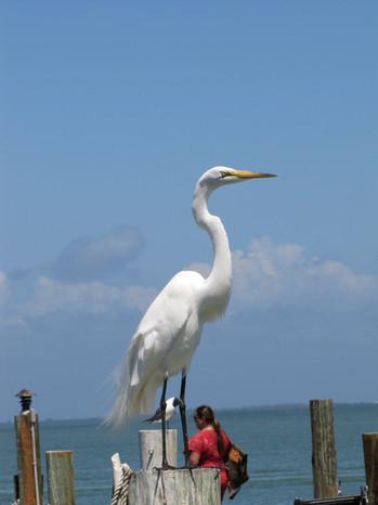 Great Egret - Sanibel, Florida