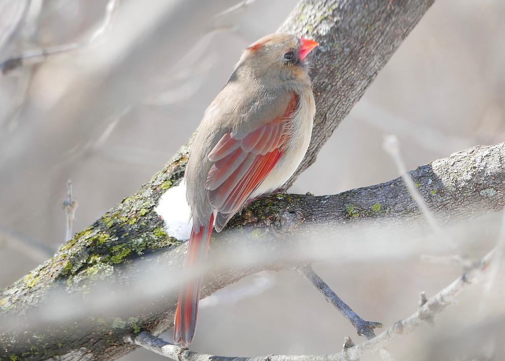 Female Northern Cardinal - Ottawa, Ontario