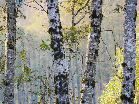 Varied Thursh - Squamish, British Columbia