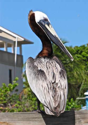 Brown Heron - Captiva, Florida