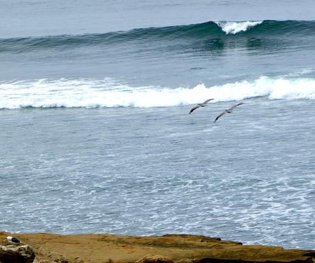 Brown Pelicans - Coast off San Diego, California