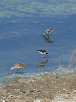 Bay Area Shorebirds - Hayward, California